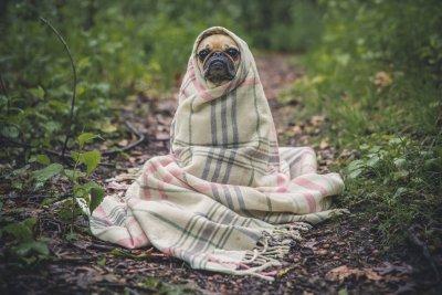 Mops in einer Decke.